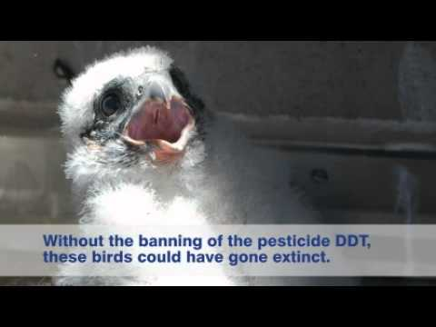 Peregrine PSA by Environmental Defense Fund
