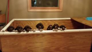 German Shorthaired Pointer Puppies! | Fergie's Mess
