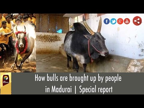 How bulls are brought up by people in Madurai   Special report