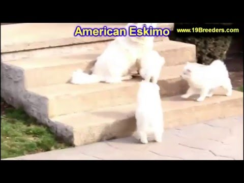 American Eskimo, Puppies, For, Sale, in, Mobile, County, Alabama, AL, Huntsville, Morgan, Calhoun, E