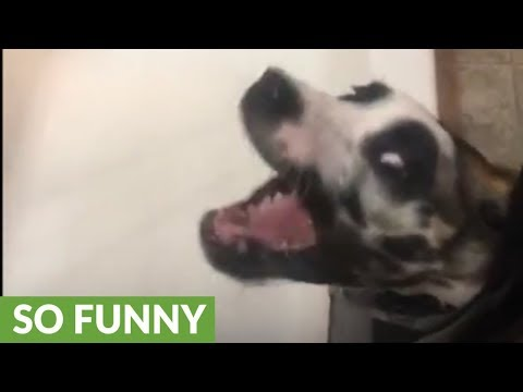 Great Dane puppy makes epic facial expressions