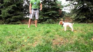 7 week old Brittany Spaniel pointing a pheasant wing