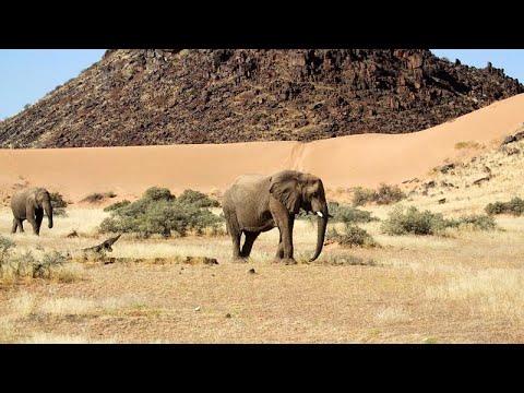 Намибия распродает слонов