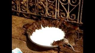 Karni Mata Temple or Rat temple
