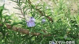 ハーブを楽しむ!ローズマリーの花 ▷ベジィデザインでは、富山県で採れ...