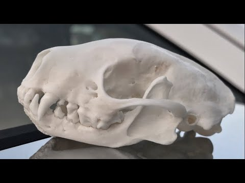 HOW TO CLEAN A SKUNK SKULL