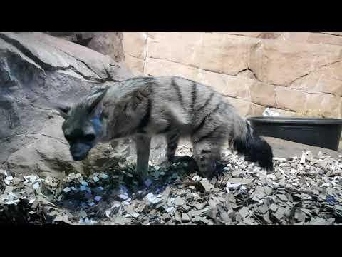 A pair of aardwolves