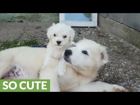 Fearless tiny puppies refuse to back down from larger bully pup