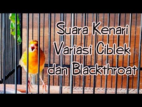 Download Lagu SUARA BURUNG | Suara Kenari Variasi Ciblek dan Blackthroat