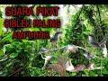 Suara Pikat Ciblek Paling Ampuh Cocok Untuk Masteran Dan Tes Mental  Mp3 - Mp4 Download