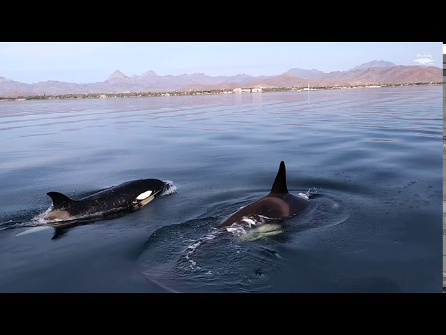 ORCAS in Loreto, Mexico! 🖤