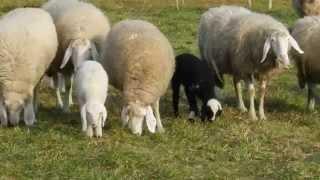 草を食べたり子羊ちゃんはミルクを飲んだりのんびり Saaser Muttenとい...
