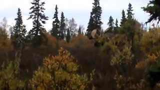 Big Alaskan Bull Moose Hunt - Hugh 2014