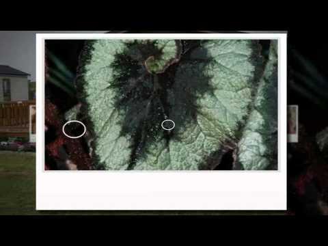 begonia rex para aulaagroforestal