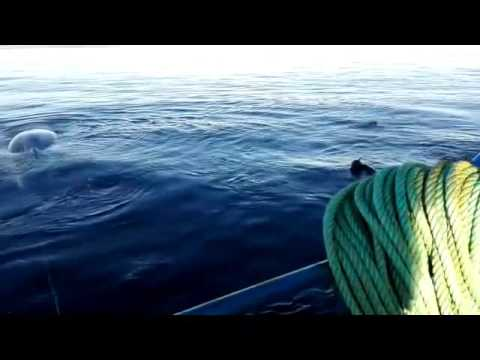 Chilean Navy Rescues Trapped Humpback Whale