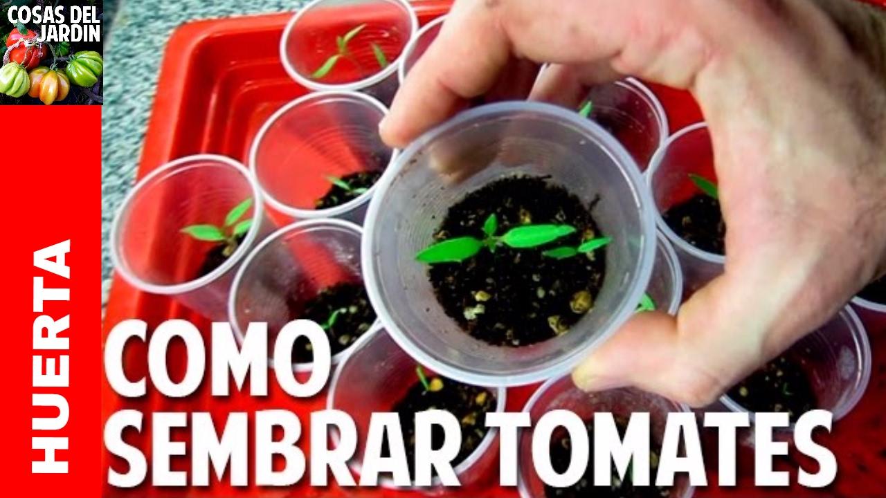 como sembrar tomate desde semilla germinacin en das video completo