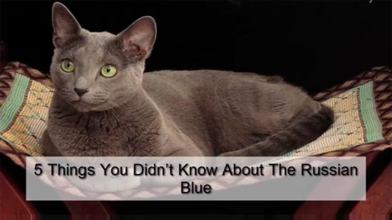 5 Things You Didn t Know About The Russian Blue