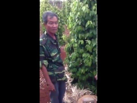 Nông dân eahleo vui mừng khi sử dụng phân bón sinh học ĐẠI KIM