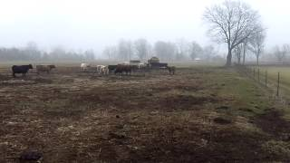 Miniature Cattle's
