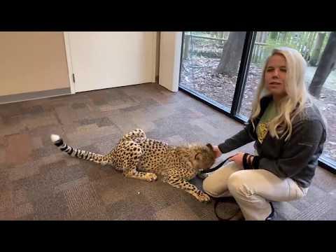 Home Safari - Cheetah Kris and Puppy Remus - Cincinnati Zoo