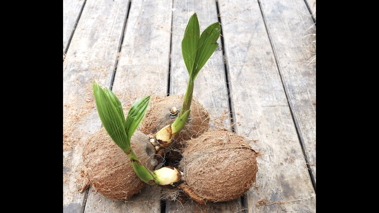 Avocado Pflanze Züchten Baby Coconut Tree Update Youtube