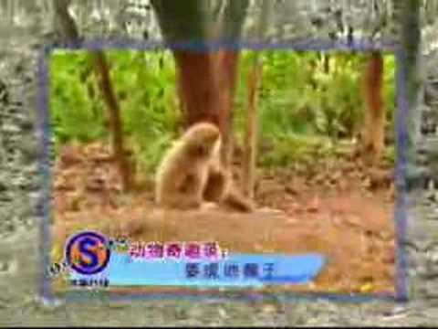 Cheetah got nagged by a Monkey