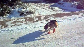 Beagle Hawkeye Mit Schuhen