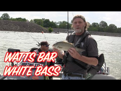 Watts Bar White Bass