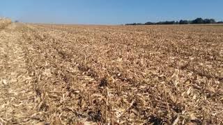 20 сентября. Убираем кукурузу лг 30315