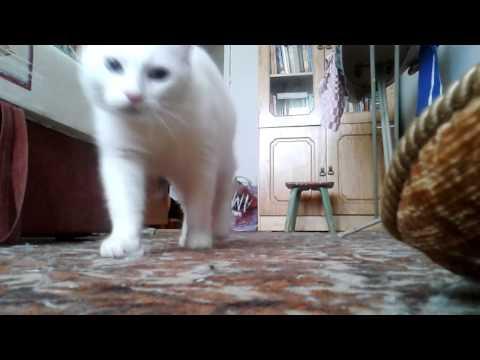 Белые кошки (16 красивых фото)