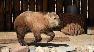 Детеныш сычуаньского такина родился в Московском зоопарке