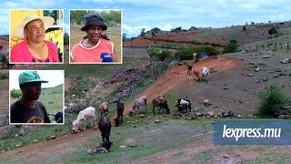 Les éleveurs rodriguais continuent de perdre leur bétail…