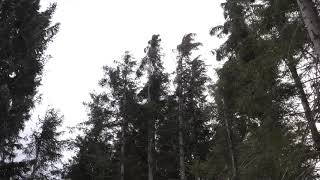 Download Video Strong Howling Wind Sound 2 Hours / Swaying Spruce Trees in The Wind MP3 3GP MP4