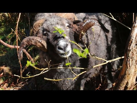 Angry ram comes running when he hears the drone.. to get sheep nuts!