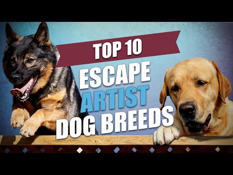 Top 10 Escape Artist Dog Breeds