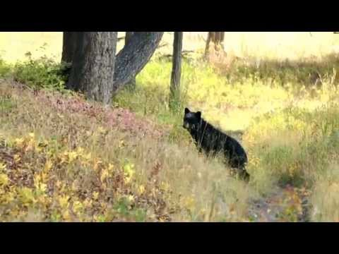 Black Bear and Cub - Yellowstone, Hellroaring Creek Trail