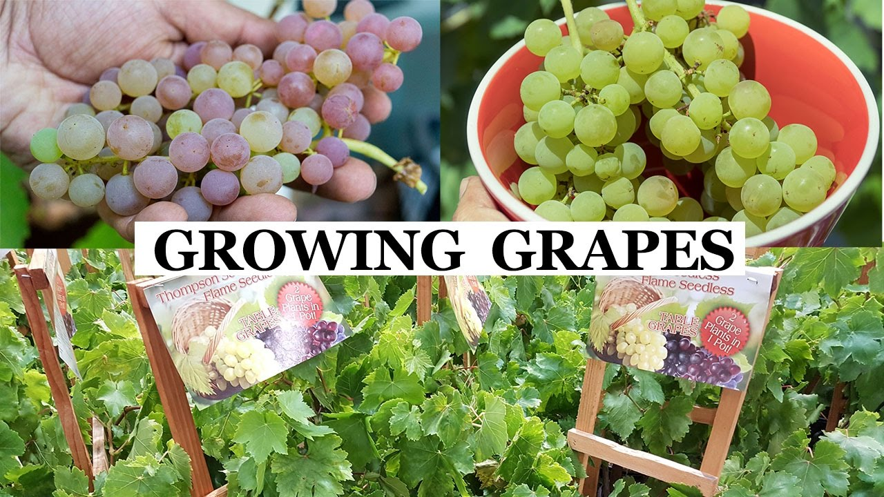 Two Year Grapes How To Grow Grapes In Your Garden Youtube