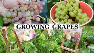 Two Year Grapes - How To Grow Grapes In Your Garden