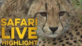 Cheetah brings down a young kudu thumbnail