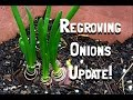 How to Regrow Onions One Month Update!
