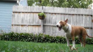 Sumo the Bull Terrier playing guard dog