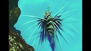 キミオコゼ  Longhorn firefiish Pterois radiata