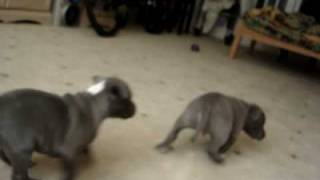 Blue Staffordshire Bull Terriers : Raging Storm Kennels