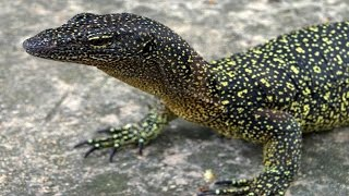 ... a lost monitor lizard for science in wreck of 1800 has been rediscovered on an islan...