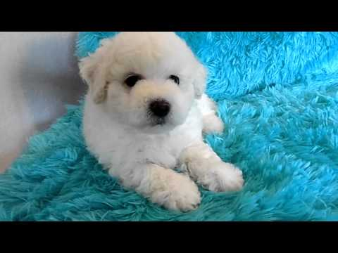 Male Bichon Frise Puppy Available For Sale