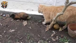 Смешные кошки.Кот и морские свинки.