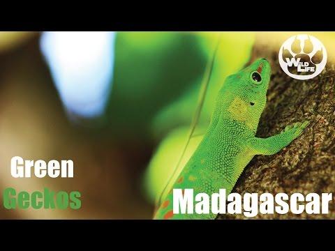 Madagascar GREEN Wildlife   Green Geckos And Green Pigeons In Madagascar - TheWildLife