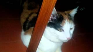 Кошка течка