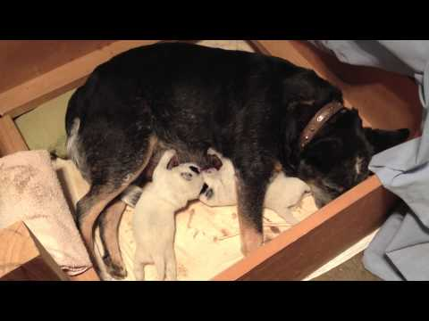 Australian Cattle Dogs : HallsHeelers Puppy Update #5 - 7th May 2013