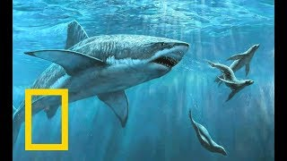 White Shark - Giant Tooth | Ocean Wildlife (Nat Geo Wild)